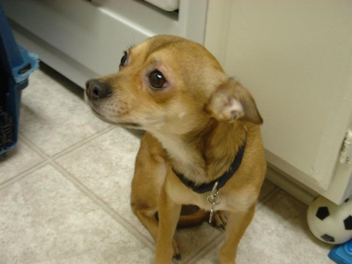 mini pinscher chihuahua mix 4 10 from 53 votes mini pinscher chihuahua ...